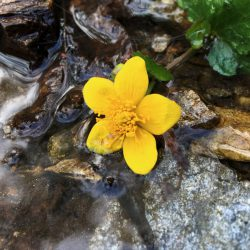 gelbe Blüte im Bach