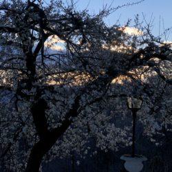 Kirschblüten bei Sonnenuntergang